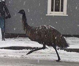 Escaped emu goes for a run in the snow in English town