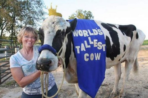 Illinois cow dubbed world's tallest