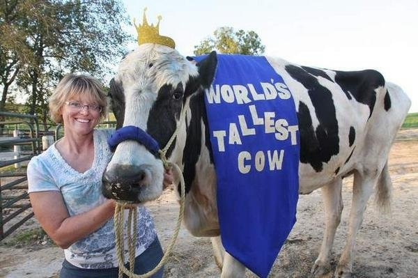World S Tallest Cow Stands At 6 Feet 4 Inches Upi Com