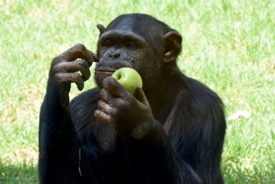 Possible chimpanzee reported on the loose in Texas