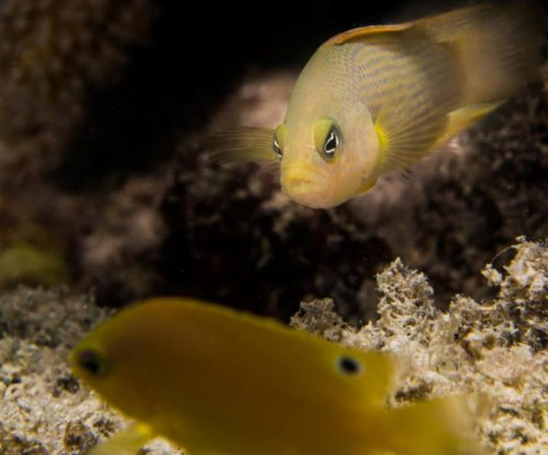 Underwater noise pollution makes fish easier prey