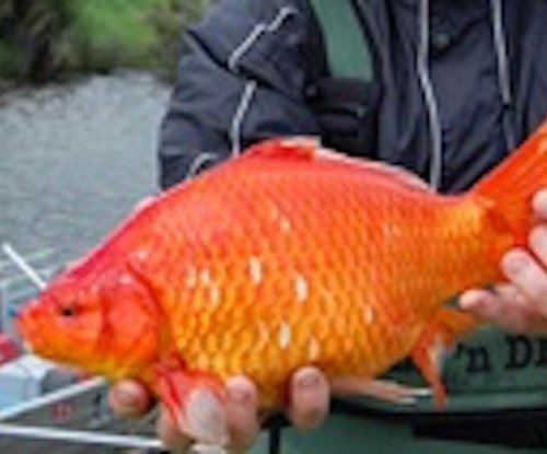 Migrating group of large 'football-size' goldfish found in Australia