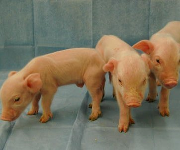 Chinese firm's $1,600 gene-edited micro pigs raise questions