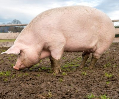 Genetic changes could make pig organs usable for human transplant