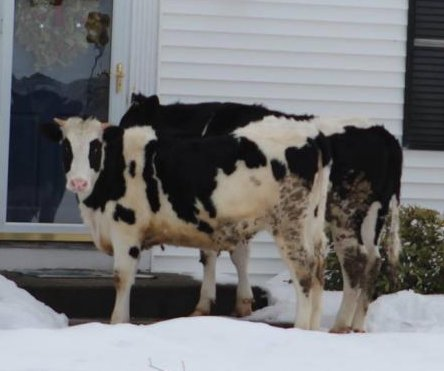 Connecticut police apprehend 'suspicious' cows outside resident's front door