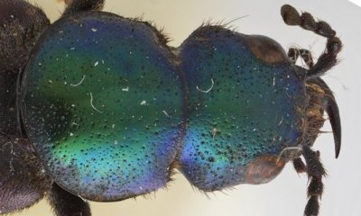 New beetle species, first discovered by Darwin, named for him on his birthday