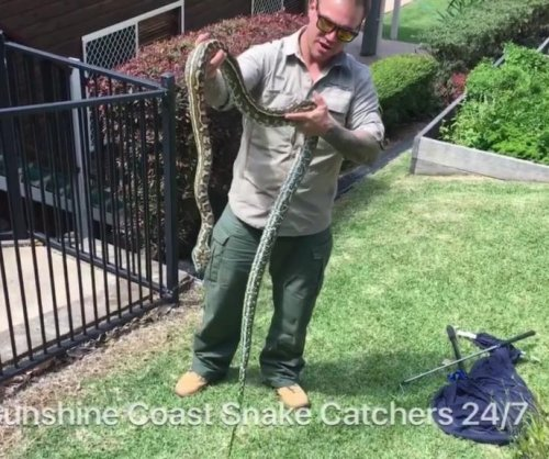 Australian snake catcher relocates massive carpet python from resident's yard