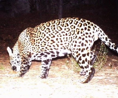 Jaguar caught on Arizona trail camera, bringing known U.S. population to two
