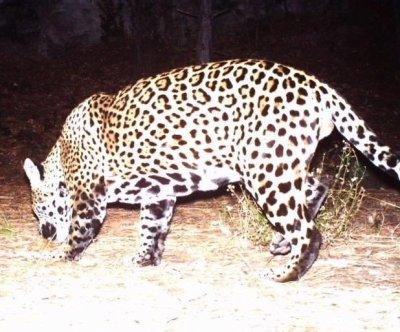 Jaguar caught on Arizona trail camera, bringing known U.S. population to two