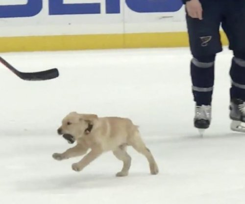 St. Louis Blues unleash puppy on ice at practice