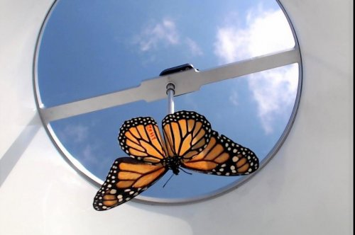 Monarch butterflies bred in captivity don't fly south, researchers find