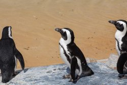 63 endangered African penguins killed by swarm of bees
