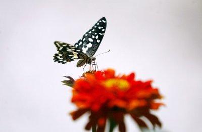 British butterflies need summer boost