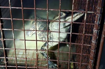 Loose alligator rescued from Maryland pond