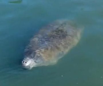 Manatee makes rare visit to Texas waters