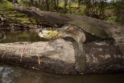 Turtle that breathes through its butt now critically endangered in Australia