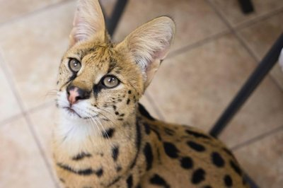 Look: African serval captured by animal control officers