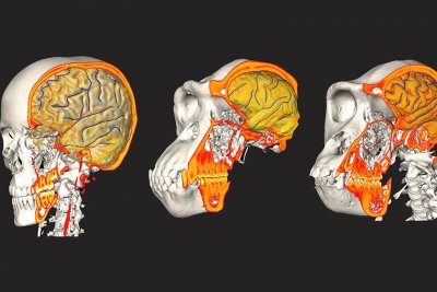 Human brain, braincase evolved independently, researchers say