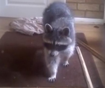 'Large cat' invading British man's home found to be raccoon