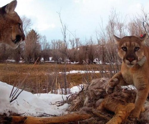 Pumas are surprisingly social, study says