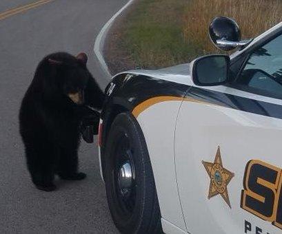 Deputy rounds up bear cubs after wildlife park escape