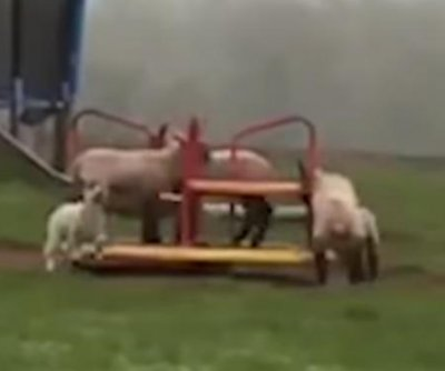 Sheep enjoy themselves on empty playground in Wales