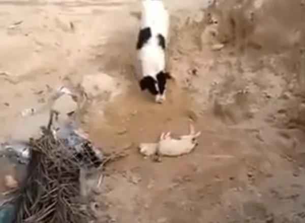 Dog Buries Dead Puppy