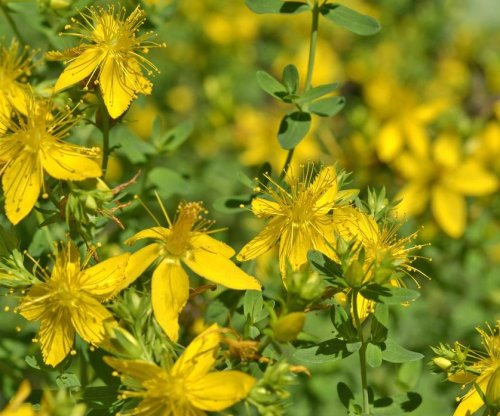 Researchers warn of St. John's Wort side effects