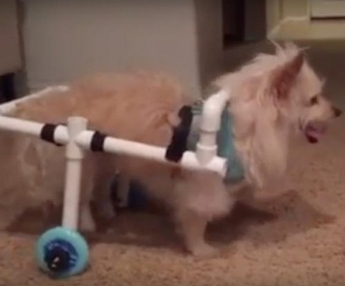 Man makes wheelchair for girlfriend's dog