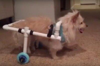 Man makes wheelchair for girlfriend's dog