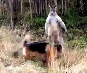 Australian man records dog's battle with kangaroo