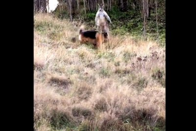 Australian man records dog's battle with kangaroo