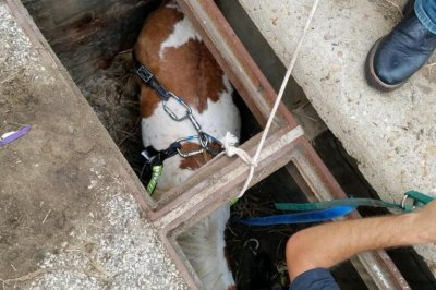 Pony hoisted from Houston storm drain