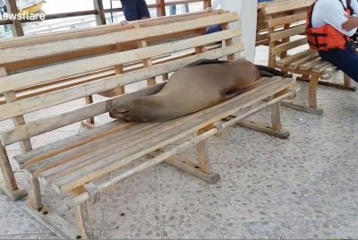 Sea lion lounges on wooden bench in Galapagos Islands