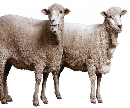 Arthritis didn't affect famous cloned sheep, experts say