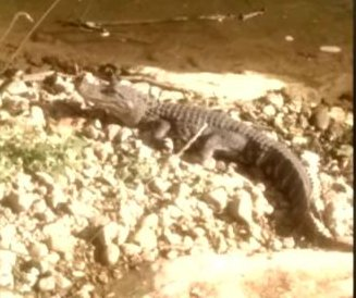 Virginia wildlife officials capture mystery alligator