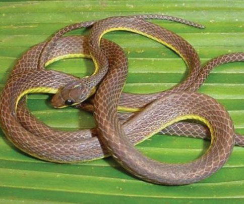 Scientists discover black-eyed snake species in Andes