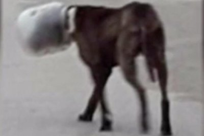 'Pickle' the dog rescued after several days with plastic jar stuck on head