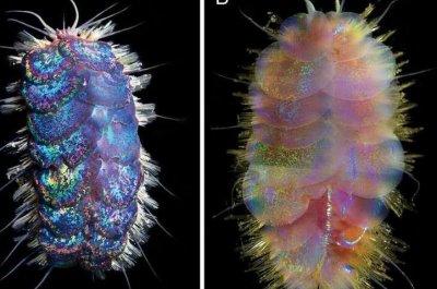 Scientists name four new Elvis worm species
