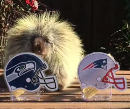 Porcupine predicts Super Bowl victory for Seahawks