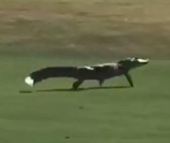 Alligator sprints across fairway at Florida golf course, belly flops into water hazard