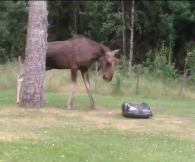 Apple-thieving moose feuds with robotic lawnmower