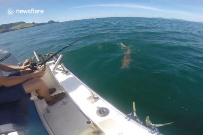 Shark steals fishing tourists' catch in New Zealand