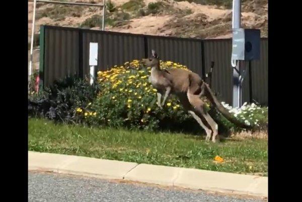Watch Kangaroo Stuck In Residential Neighborhood Due To