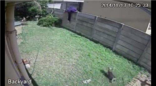 Tiny guard dog chases off suspected burglar