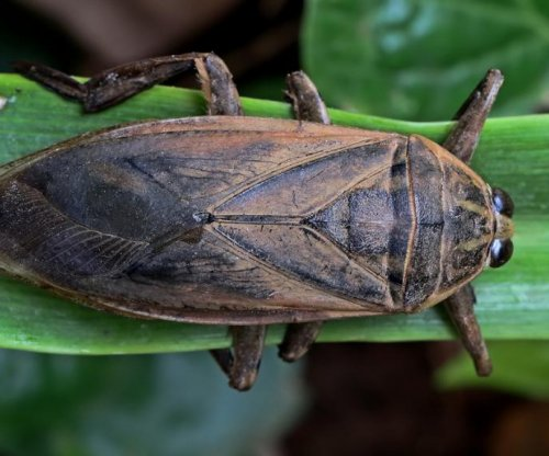 Thai water bug offers insights into human heart disease