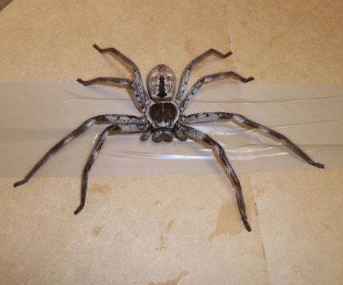 British movers find massive Australian spider in family's belongings