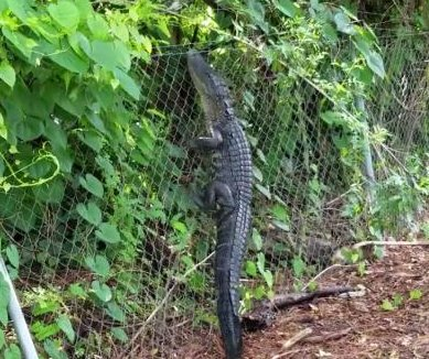 Fence-climbing alligator caught on camera at Florida country club