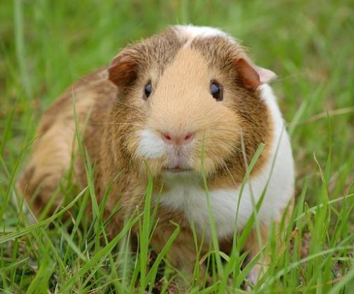 Guinea pigs may harbor a hidden health hazard, researchers say