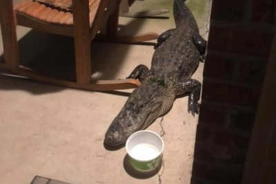 Alligator ejected from Louisiana family's patio